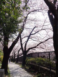 2017sakura10